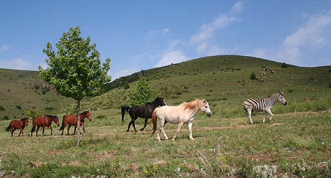 Photo of zebra with horses