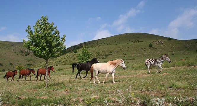 Photo of zebra with horses